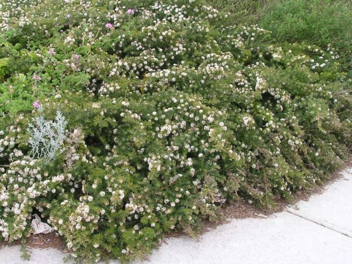 Grevillea crithmifolia Grevillea Crithmifolia Prostrate Green Carpet Lullfitz Nursery