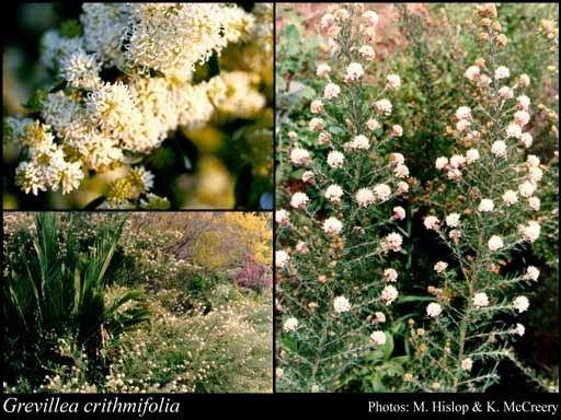 Grevillea crithmifolia httpsflorabasedpawwagovausciencetimage19