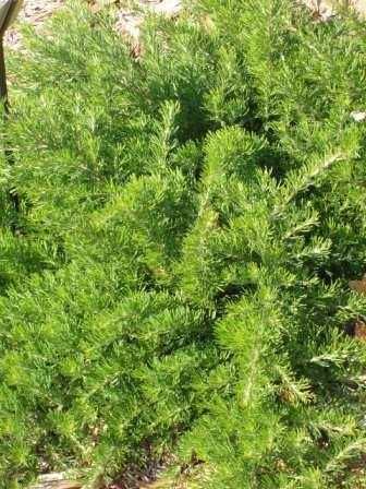 Grevillea crithmifolia Grevillea crithmifolia Australian Native Plants Plants 800701