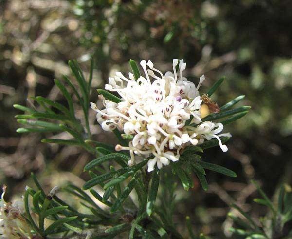 Grevillea crithmifolia Grevillea crithmifolia Australian Native Plants