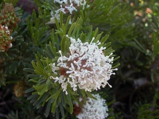 Grevillea crithmifolia Australis Plants Grafted Grevilleas