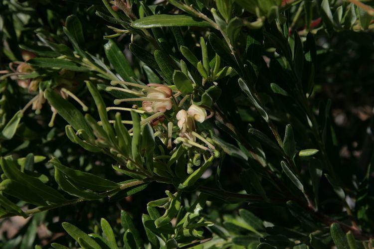 Grevillea granulosa
