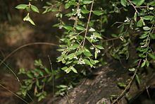 Grevillea mucronulata httpsuploadwikimediaorgwikipediacommonsthu