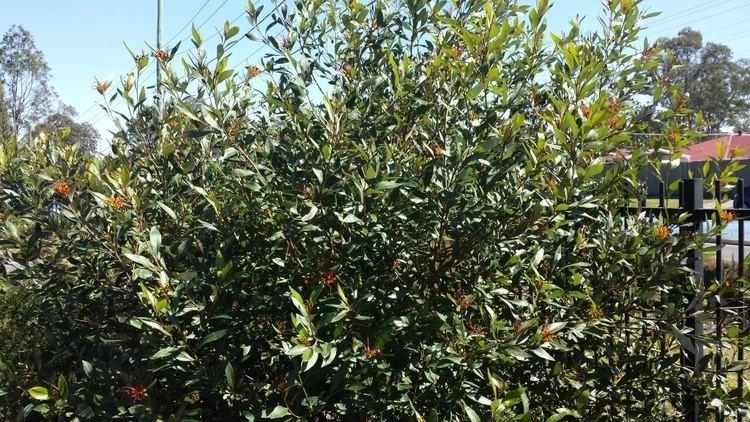 Grevillea 'Orange Marmalade' Grevillea 39Orange Marmalade39 Grevillea Gardening With Angus