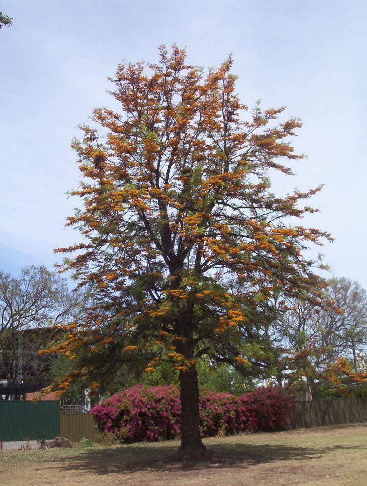 Grevillea robusta Grevillea robusta Silky Oak Leafland