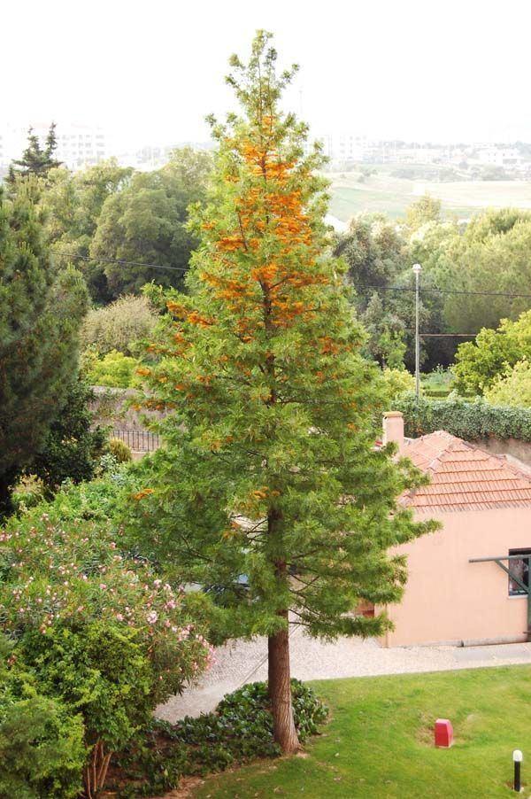 Grevillea robusta Grevillea robusta Silky Oak