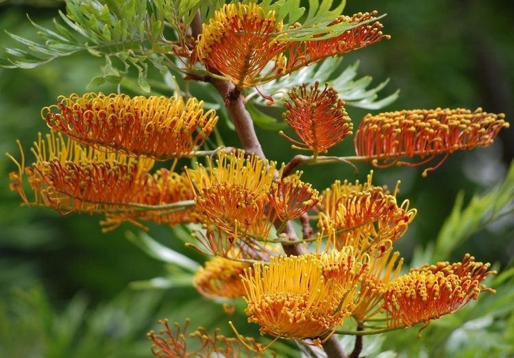 Grevillea robusta Grevillea Robusta Southern Silky Oak Tree 10 Seeds