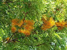 Grevillea robusta httpsuploadwikimediaorgwikipediacommonsthu