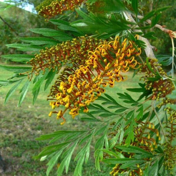 Grevillea robusta Grevillea robusta Noosa39s Native Plants
