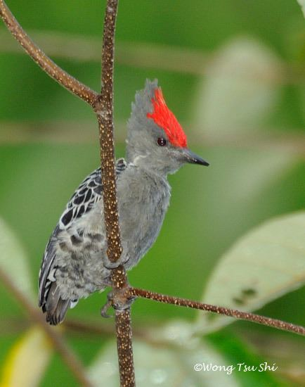 Grey-and-buff woodpecker Oriental Bird Club Image Database Greyandbuff Woodpecker