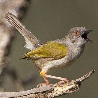 Grey-backed camaroptera wwwbiodiversityexplorerorgbirdscisticolidaeim