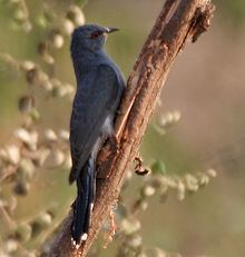 Grey-bellied cuckoo httpsuploadwikimediaorgwikipediacommonsthu