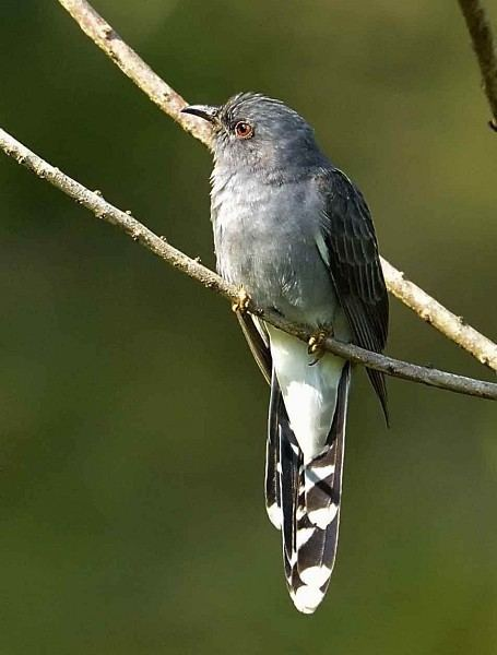 Grey-bellied cuckoo Oriental Bird Club Image Database Greybellied Cuckoo Cacomantis