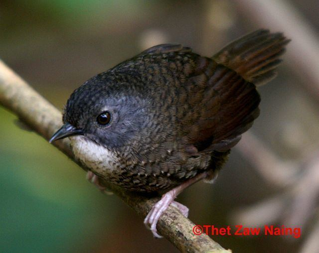 Grey-bellied wren-babbler orientalbirdimagesorgimagesdatagreybelliedwre