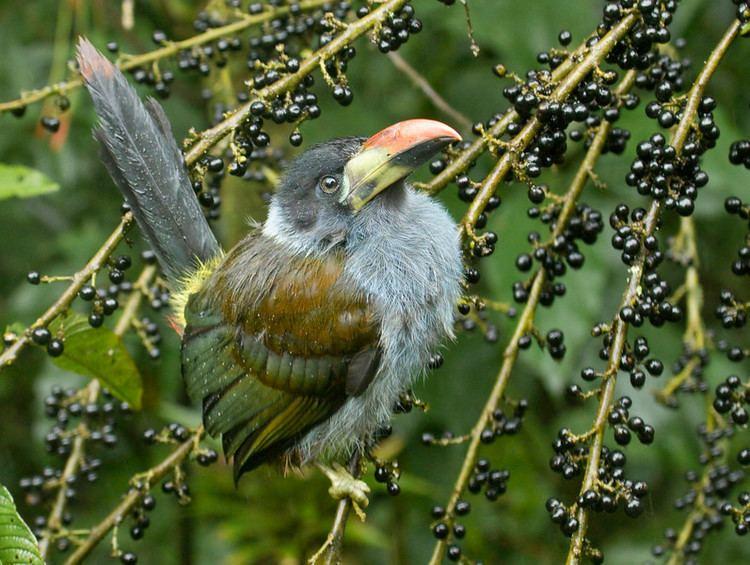 Grey-breasted mountain toucan httpsphotossmugmugcomStockBirdsEcuadorian