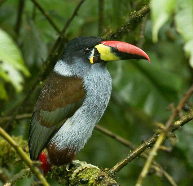 Grey-breasted mountain toucan Sapayoa Ecuador Bird Photos Photo Keywords GREY BREASTED MOUNTAIN