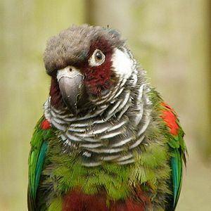 Grey-breasted parakeet httpsuploadwikimediaorgwikipediacommonsthu