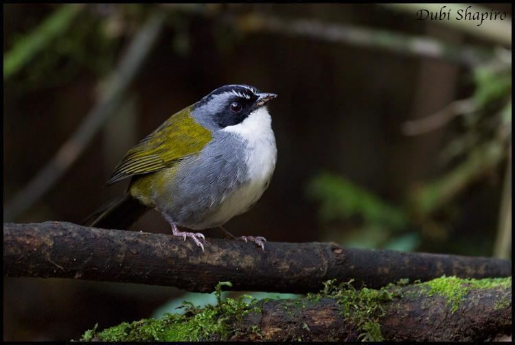 Grey-browed brush finch Greybrowed Brushfinch Arremon assimilis A bird perched on a log
