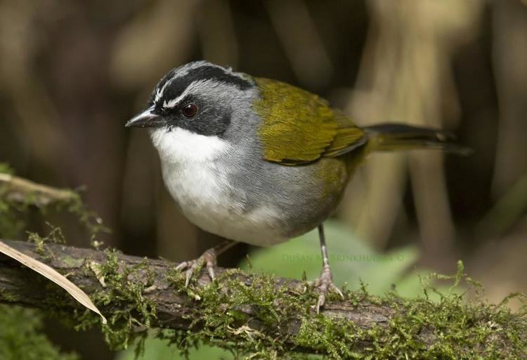 Grey-browed brush finch Greybrowed Brushfinch Arremon assimilis videos photos and sound