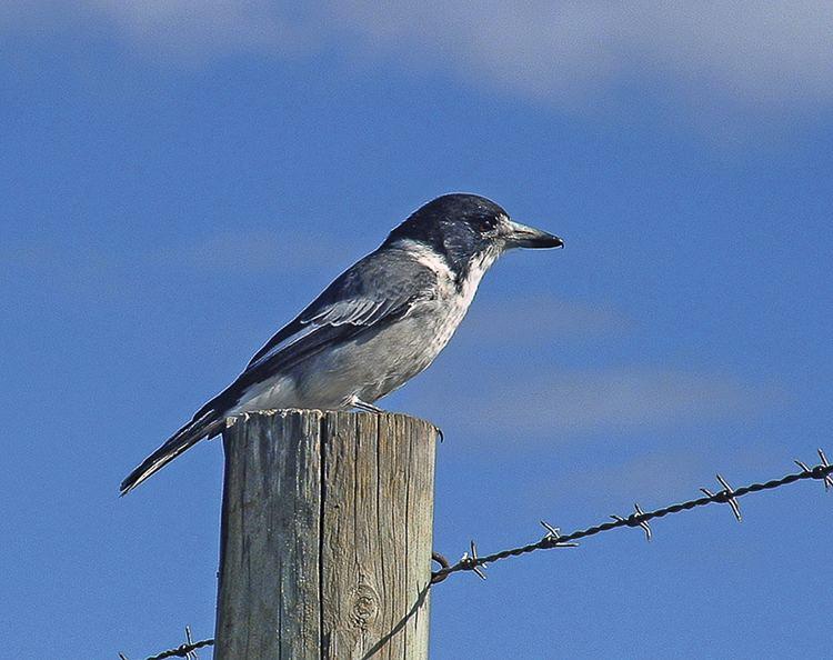 Grey butcherbird barwonbluffcomauwpcontentuploadsgreybutcher
