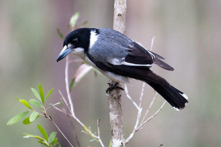 Grey butcherbird Grey Butcher Bird The grey butcherbird Cracticus torquatus is a