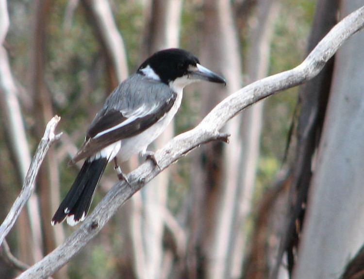 Grey butcherbird Grey Butcherbird Trevor39s Birding