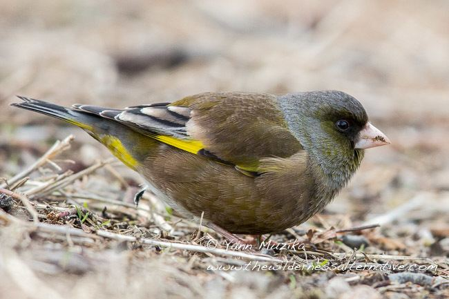 Grey-capped greenfinch Oriental Bird Club Image Database Greycapped Greenfinch