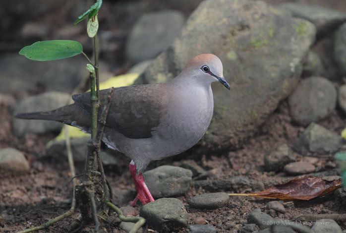 Grey-chested dove Graychested Dove Leptotila cassinii Photo Image