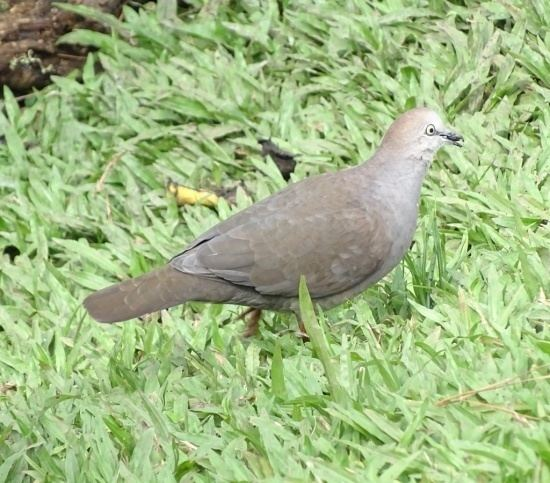 Grey-chested dove wwwbirdforumnetopusimagesthumb33eGreyches