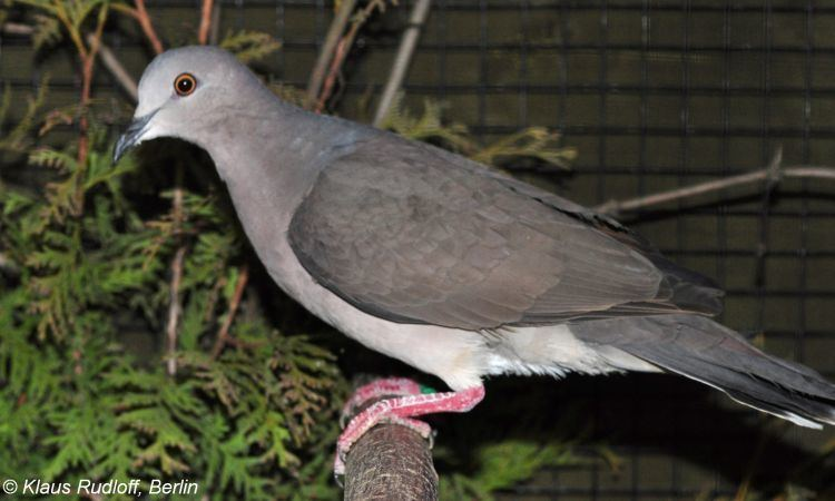Grey-chested dove Image Leptotila cassini Greychested Dove BioLibcz