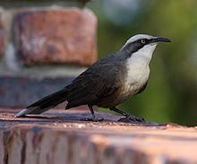 Grey-crowned babbler httpsuploadwikimediaorgwikipediacommonsthu