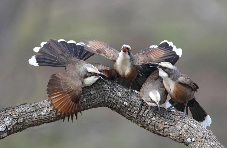 Grey-crowned babbler Greycrowned Babbler project update 2014 birdlifemelbourne