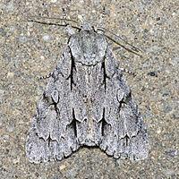 Grey dagger httpsuploadwikimediaorgwikipediacommonsthu