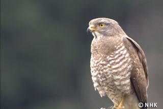 Grey-faced buzzard Hunter in Rural Japan Greyfaced Buzzard NEP Program Finder
