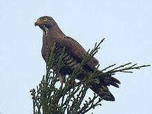 Grey-faced buzzard httpsuploadwikimediaorgwikipediacommonsthu