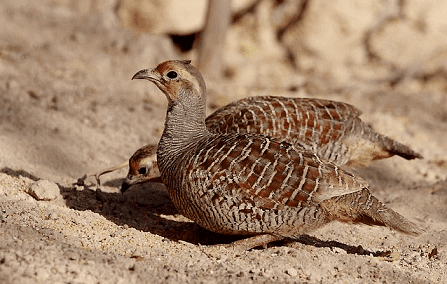Grey francolin Grey francolin Francolinus pondicerianus complete detail