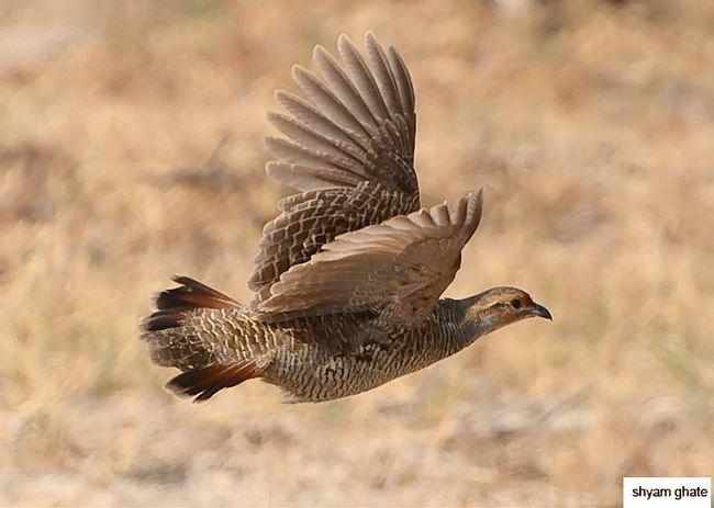 Grey francolin Oriental Bird Club Image Database Grey Francolin Francolinus