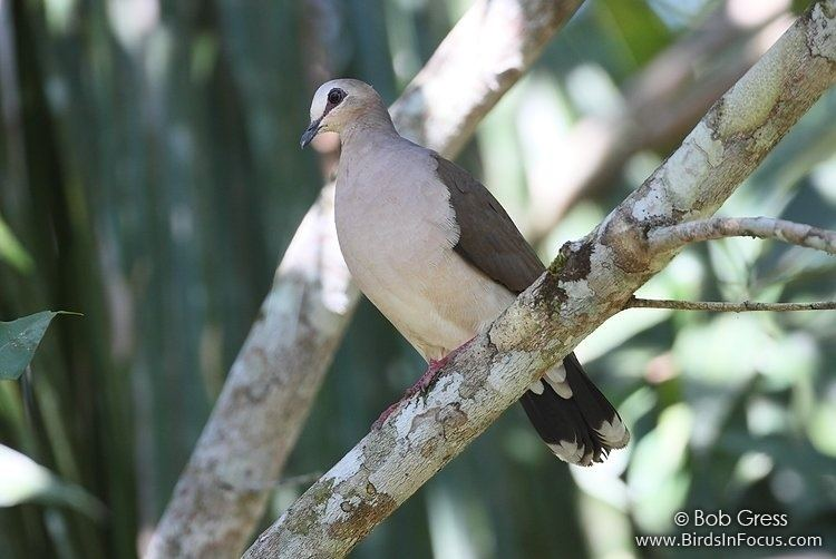 Grey-fronted dove Birds in Focus Grayfronted Dove