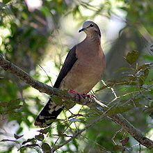 Grey-fronted dove httpsuploadwikimediaorgwikipediacommonsthu