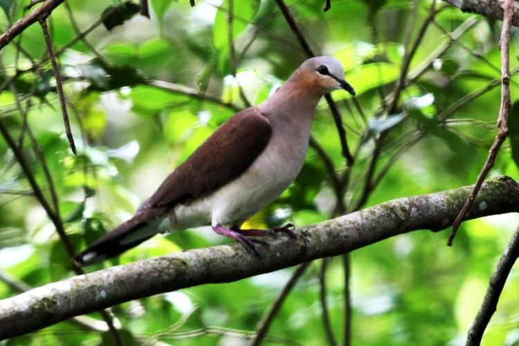Grey-fronted dove Greyfronted Dove Leptotila rufaxilla On a branch the Internet