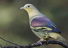 Grey-fronted green pigeon httpsuploadwikimediaorgwikipediacommonsthu