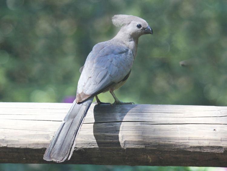 Grey go-away-bird FileGrey Goawaybird RWDjpg Wikimedia Commons