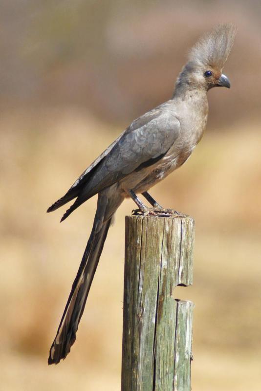 Grey go-away-bird Grey Goawaybird Corythaixoides concolor videos photos and sound