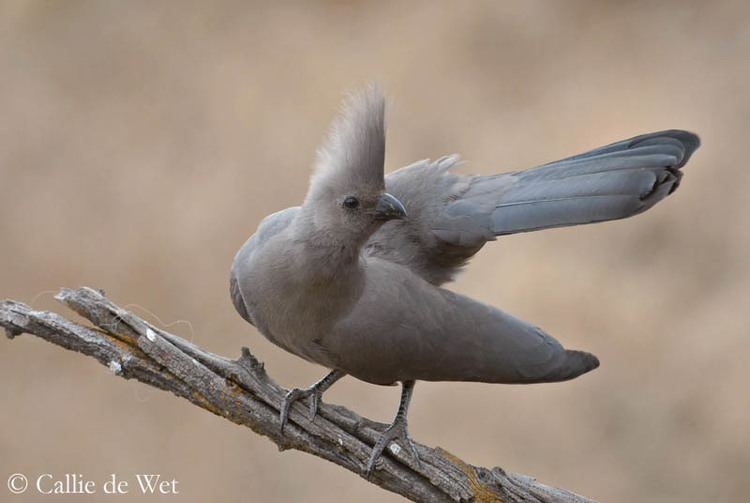 Grey go-away-bird Grey GoAway Bird