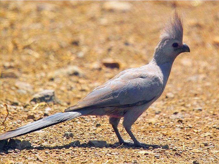 Grey go-away-bird Birds of The World TURACO