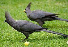 Grey go-away-bird Grey goawaybird Wikipedia
