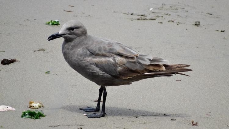 Grey gull Grey Gull Larus modestus videos photos and sound recordings the