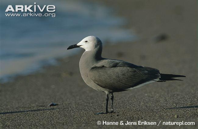 Grey gull cdn2arkiveorgmedia9B9B8D8B5AA2E84E4995A57