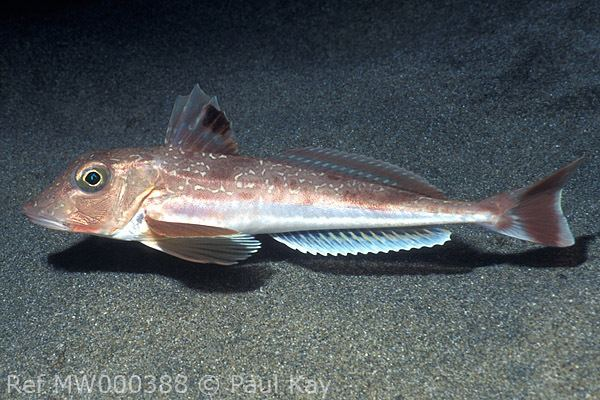Grey gurnard Fish ID Marine Sussex Angling Media