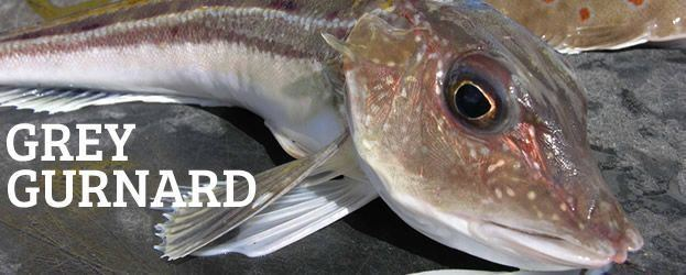 Grey gurnard Fishing In Ireland Angling Ireland Salt Water Fish Gurnard Grey